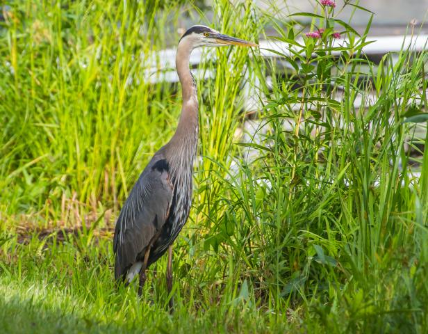 Great_Blue_Heron_on_Beaver_Creek_MICHAEL_McCABE.jpg